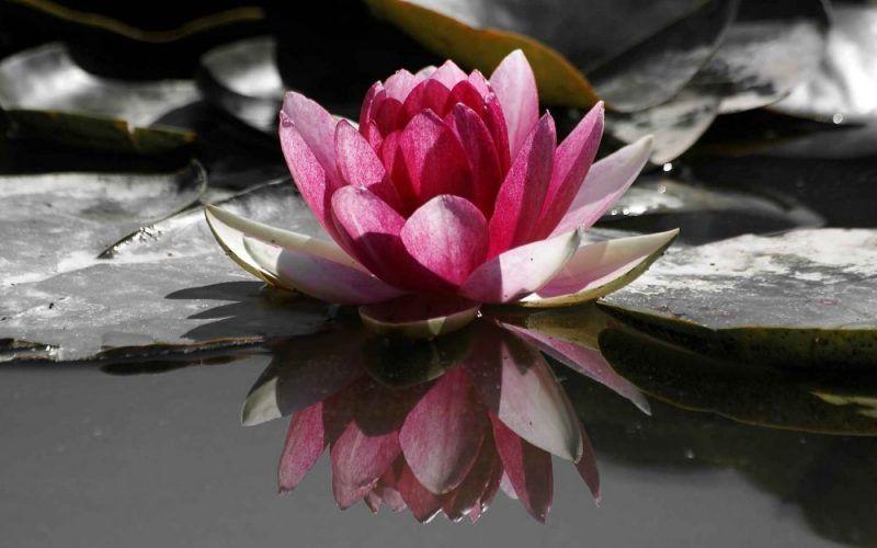 Significado-de-la-Flor-de-Loto-11